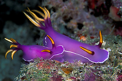 These esquisitely colored nudibranchs, Hypselodoris bullockii, are browsing at the deep edge of a sloping drop-off. Similan Islands Marine National Park, Thailand, Andaman Sea. filename: nb135