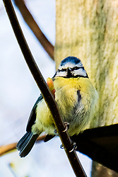 Blue tit sits outside a Birdbox Ecclesfield Park <br /> <br /> 14 April 2020<br /> <br /> www.pauldaviddrabble.co.uk<br /> All Images Copyright Paul David Drabble - <br /> All rights Reserved - <br /> Moral Rights Asserted -