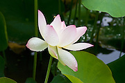 Lotus blossom plants at Los Poblanos in New Mexico.
