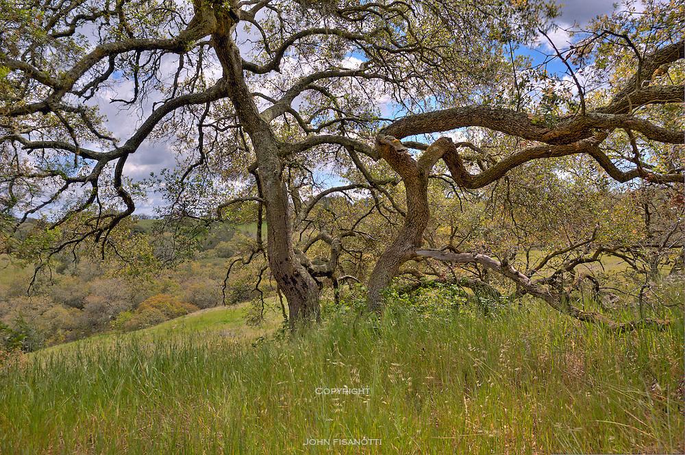 A majestic oak in the Santa Rosa Plateau Reserve