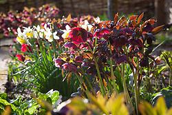 Backlit Helleborus x hybridus syn. Helleborus orientalis and narcissus