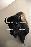 Bison head. 2009 Guildford Heritage Festival, Western Australia