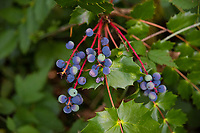 Also known as the holly-leaved Oregon grape, this member of the Mahonia genus can tolerate drier conditions than other native Oregon grape shrubs and is easily recognized by the distinctive waxy, holly-like leaves as well as the height it can grow - almost 9 feet tall! While the fruit can be delicious, tart, pleasing and can be made into delicious jellies, jams and wines, caution must be taken as high doses of Oregon-grapes can cause nose-bleeds, kidney inflammation,  shortness of breath, or worse. This one was was found growing in a forest near Olympia, Washington, heavy with fruit.