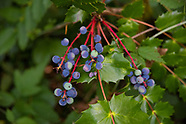 Oregon Grapes (Mahonia)