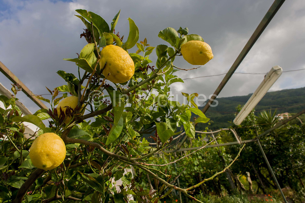 """Lemons grow on fertile soil on a smallholding located on the slopes of the Vesuvius volcano, seen in the distance which last erupted in 1944. Growing on land near Somma Vesuviana, the family have owned for generations would choose to stay if the volcano erupts again. """"There would be no modern precedent for an evacuation of this magnitude,"""" says Giuseppe Mastrolorenzo at the Vesuvius Volcano Observatory in Naples. """"This is why Vesuvius is the most dangerous volcano in the world."""""""
