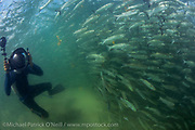 An underwater cameraman films a school of Striped Mullet, Mugil cephalus, offshore Juno Beach, Florida during the annual mullet migration.