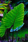Giant taro leaf, Waipio Valley, Big Island of Hawaii