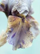 Iris 'Jungle Shadows' - border bearded iris