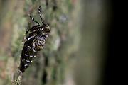 Flightless female moth climbing an oak trunk after dark. Surrey, UK.