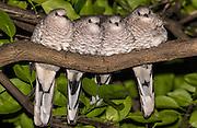 Scaled Doves<br /> Scardafella squammata<br /> Cerrado Habitat, Piaui State, BRAZIL<br /> South America<br /> Range: ne Colombia, Venezuela, Guianas, e Brazil to Argentina