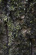 Lichen Leptogium saturninum growing on old aspen tree (Populus tremula), near Ģikši, Vidzeme, Latvia Ⓒ Davis Ulands | davisulands.com