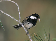 Cyprus Coal Tit - Parus ater cypriotes