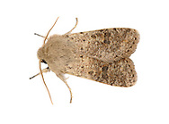 Small Quaker Orthosia cruda Length 15-19mm. A rather drab spring-flying moth of deciduous woodland that feeds on sallow blossom; rests with its wings in a tent-like manner. Adult has grey-buff to reddish-buff wings marked with small dots and a large, dark kidney-shaped spot. Flies March-April. Larva feeds on deciduous trees including willows and oaks. Widespread and fairly common in southern and central Britain; much more local in Scotland.
