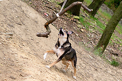 Wallace Plays with a stick swing in the Lee Shrogs Wood Ecclesfield<br /> <br />  Copyright Paul David Drabble<br />  08 July 2019<br />  www.pauldaviddrabble.co.uk