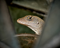 Looking at You. Brown Anole Lizard in St. Petersburg, Florida. Image taken with a Nikon D2xs and 105 mm f/2.8 VR macro lens (ISO 100, 105 mm, f/5.6, 1/250 sec).