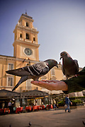 Pigeons eat from a man's hand in Parma Italy.