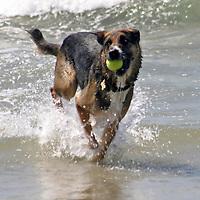 USA, California, Del Mar. Dog fetching tennis ball in ocean at Dog Beach Del Mar.