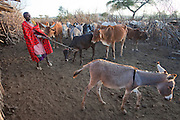 Noolkisaruni Tarakuai pulls a calf away from its emaciated mother during the morning milking in a Maasai village comopund near Narok, Kenya. (From the book What I Eat: Around the World in 80 Diets.)  MODEL RELEASED.