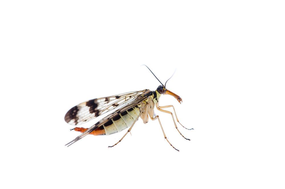 IFTE-NB-007829; Niall Benvie; Panorpa communis; scorpion fly; Europe; Austria; Tirol; Fliesser Sonnenhänge; insect invertebrate arthropod; vertical; high key; black white; controlled; adult; one; upland grasssland meadow woodland edge; 2008; July; summer; strobe backlight; Wild Wonders of Europe Naturpark Kaunergrat