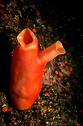 UNDERWATER MARINE LIFE EAST PACIFIC: Northeast SEA SQUIRTS: Sea squirt Tunicata