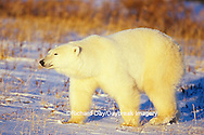 01874-07418 Polar Bear (Ursus maritimus) walking Churchill  MB