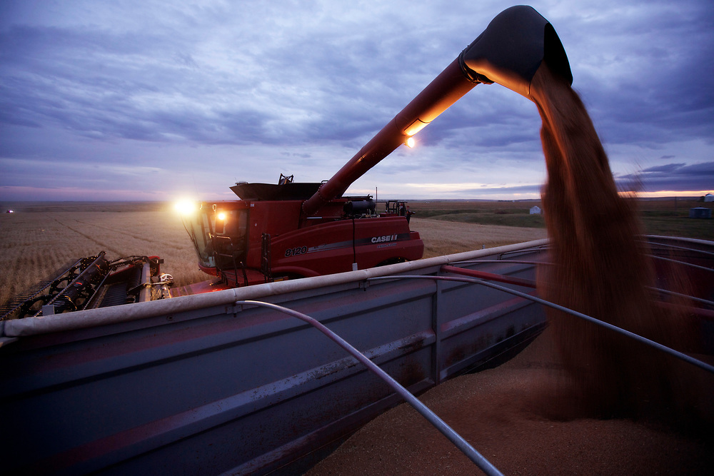 Jay Schultz harvesting his wheat near Standard, Alberta, September 7, 2014.  Photograph by Todd Korol for The Globe and Mail