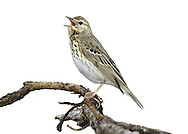 Tree Pipit - Anthus trivialis. L 15cm. Similar to Meadow Pipit but separable with care using plumage details, voice and habitat preferences. Sexes are similar. Adult has streaked sandy brown upperparts. Underparts are pale, whitish and unmarked on throat and belly but boldly streaked and flushed with yellow-buff on breast and flanks. Note striking pale supercilium and dark sub-moustachial stripe. Legs are pinkish and outer tail feathers are white. Juvenile is similar to adult. Voice Flight call is a buzzing spzzzt. Song (delivered in flight but starts and ends from different tree perches) comprises accelerating trill ending with thin notes. Status Widespread migrant summer visitor, commonest in W and N. Favours open woodland and heaths with scattered trees.