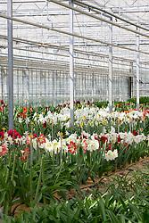 Amaryllis nursery, Holland
