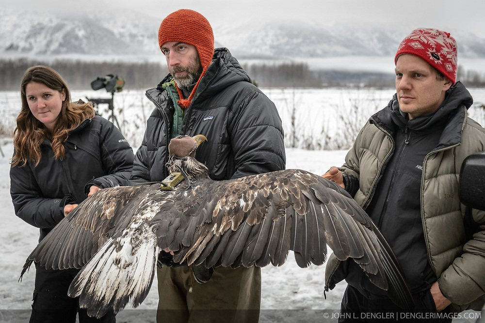 """Rachel Wheat, a graduate student at the University of California Santa Cruz (left), Steve Lewis, Raptor Management Coordinator, U.S. Fish & Wildlife Service (center) and Dr. Chris Wilmers, associate professor, University of California Santa Cruz (right) hold up the wings of a juvenile bald eagle (Haliaeetus leucocephalus) so it may be photographed. Photos of a juvenile bald eagle's molting, particularly in the head and tail feathers, can help determine its age before it reaches maturity due to the sequential molting pattern eagles experience during the first five years of their life. Wheat is conducting a bald eagle migration study of eagles that visit the Chilkat River for her doctoral dissertation. She hopes to learn how closely eagles track salmon availability across time and space. The bald eagles are being tracked using solar-powered GPS satellite transmitters (also known as a PTT - platform transmitter terminal) that attach to the backs of the eagles using a lightweight harness. The latest tracking location data of this bald eagle known as """"2Z"""" can be found here: http://www.ecologyalaska.com/eagle-tracker/2z/ . During late fall, bald eagles congregate along the Chilkat River to feed on salmon. This gathering of bald eagles in the Alaska Chilkat Bald Eagle Preserve is believed to be one of the largest gatherings of bald eagles in the world."""