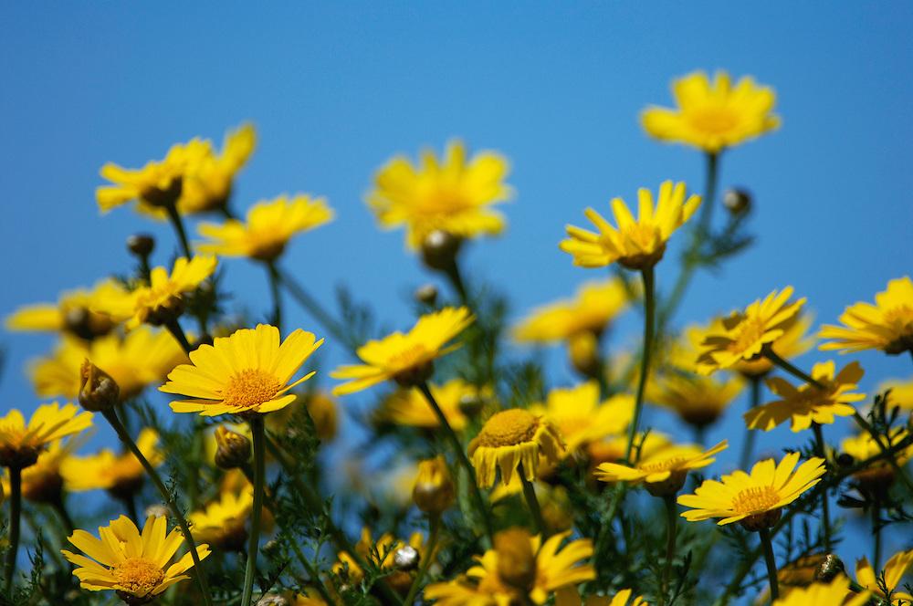 Crown Daisys (Chrysanthemum coronarium), Akamas Peninsula, Cyprus
