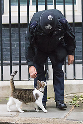 Downing Street, London June 2nd 2015. Thed PM's cat Larry asks to be let in to Number Ten.