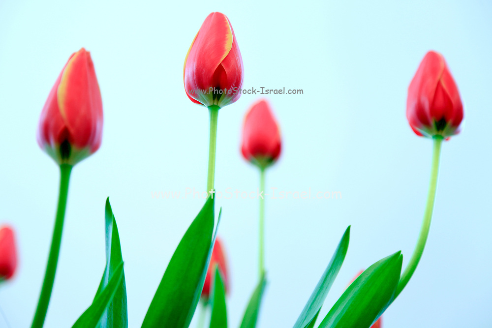 Tulips in a transparent glass vase of water on a white background