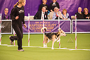 New York, NY - 8 February 2014. Roo!, a mixed-breed, weaveing his way through the weave poles. The Westminster Kennel Club refers to mixed-breeds as All American dogs.