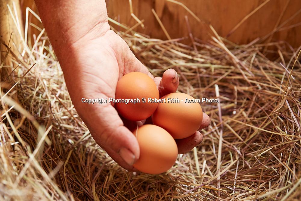 Household chicken eggs
