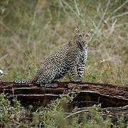 Leopard (Panthera pardus) Lake Nakuru National Park. Kenya. Africa... Leopard (Panthera pardus) Lake Nakuru National Park. Kenya. Africa.