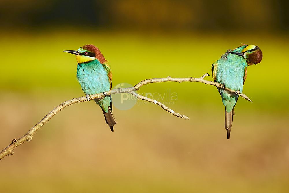 Fauna. Abejaruco. Merops apiaster