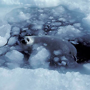 Harp Seal, (Pagophilus groenlandicus) Pups first swim in icy slushy water of open area in ice pack. Spring. Nova Scotia. Canada.