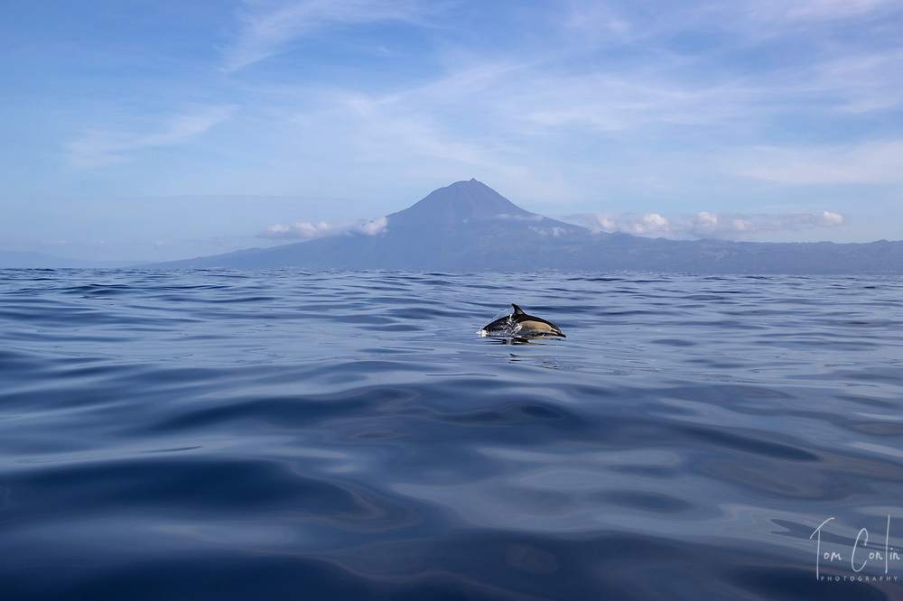 """short beaked common dolphin ~ Delphinus delphis ~ Pico, Azores, Portugal ~ """"This work was performed under the authorization n.0 XX-ORAC-2018 issued by the Government, on February 22, 1018"""""""
