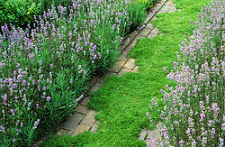 A scented chamomile path Chamaemelum nobile 'Treneague' edged with Lavandula angustifolia 'Hidcote' at Clinton Lodge