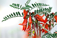 Sutherlandia Frutescens also known as Cancer bush and Balloon pea is known to have medicinal properties