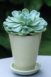 Echeveria in pale ceramic pot.