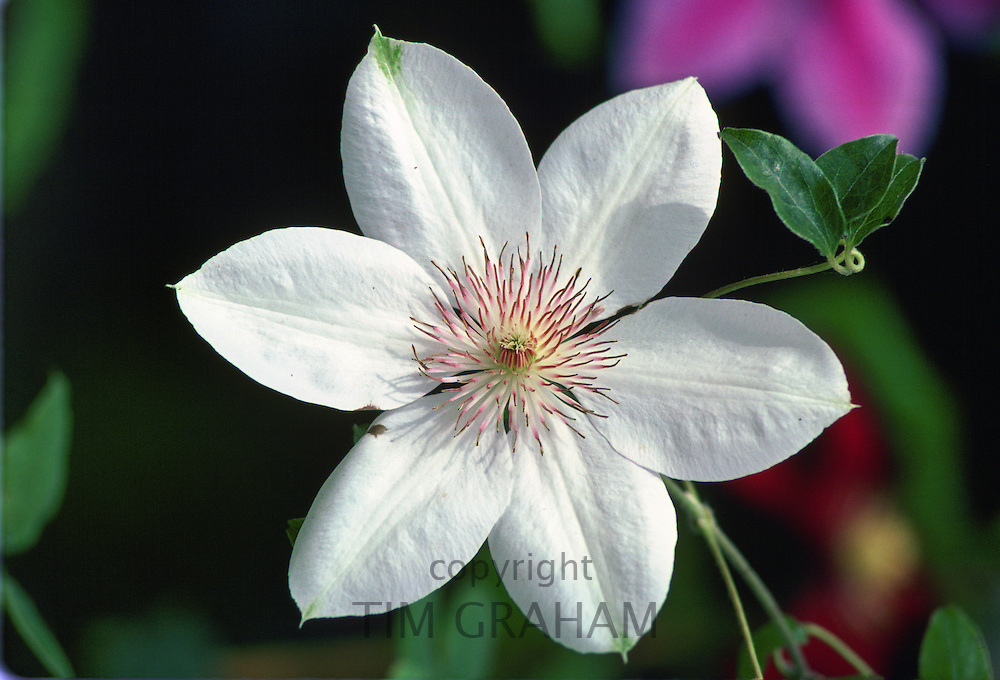 Clematis, United Kingdom.
