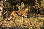 Young male cheetah moving into the Chitabe concession