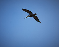 Brown Pelican in flight. Point Arena, Pacific Coast Highway. Image taken with a Nikon D3 camera and 24-70 mm f/2.8 lens.
