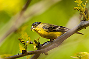 Gold Finch (Spinus tristis) with seeds of a yellow locust tree