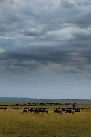 Wildebeest grazing at dawn in the Masai Mara National Park, Kenya