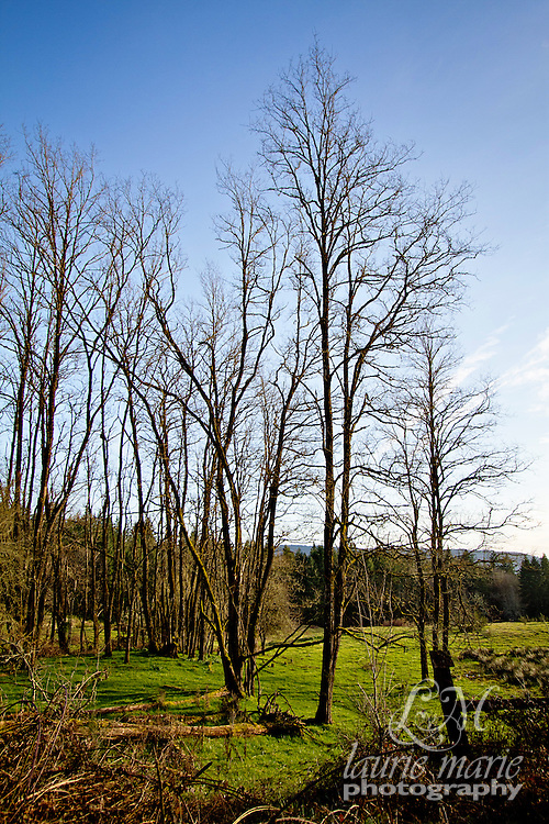 Sunny stand of trees in a green field against a blue sky.