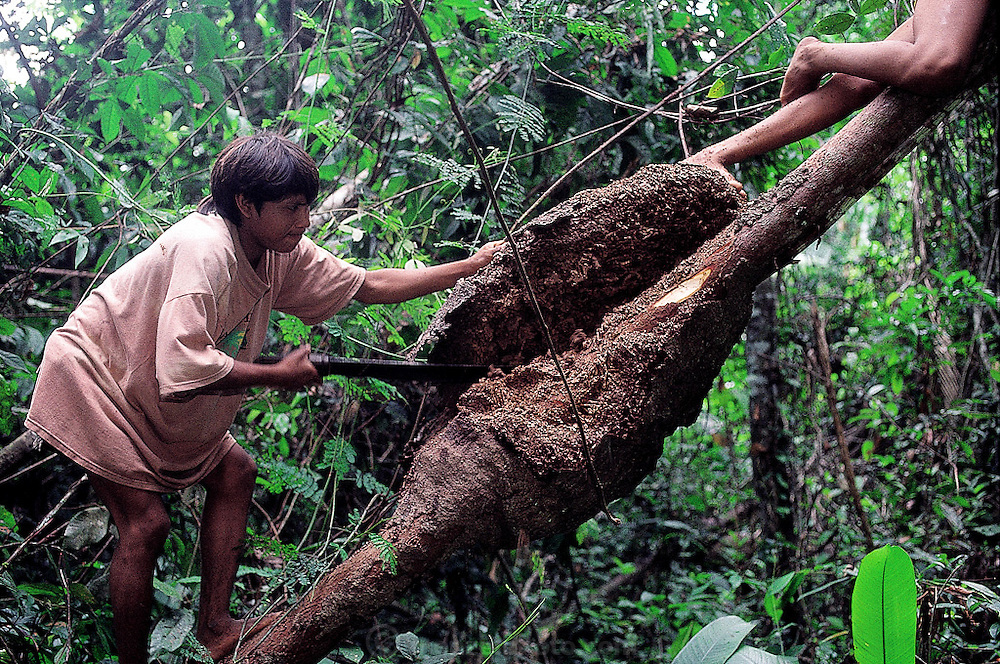 Yanomami children, clad in Western t-shirts, hunt for termites in trees containing the nests, Sejal, Venezuela. (Man Eating Bugs page 172 Top)