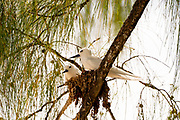 Two White tern or White Fairy Tern (Gygis alba) nesting in a  Tree. Photographed on Cousin Island, in the Seychelles, a group of islands north of Madagascar in the Indian Ocean.