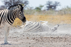 Zebras taking sand bath at Etosha National Park, Namibia, Africa